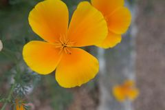 A golden California Poppy. A macro image of a beautiful golden California Poppy in its native habitat royalty free stock photography