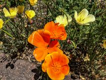 Golden California Poppy is a native flower. Closeup royalty free stock photos