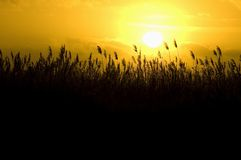 Golden Cane. Waving cane in front of a beautiful sunset stock photo