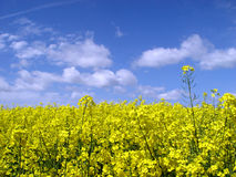 Golden canola field. Blooming field and bright blue sky - the essence of may Royalty Free Stock Photos