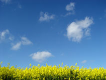 golden canola field Royalty Free Stock Images
