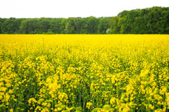 Golden Canola field Stock Image