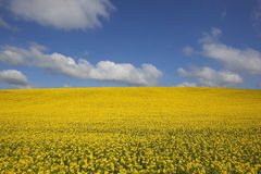 Golden canola field Stock Photography