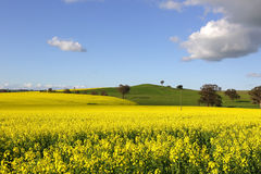 Golden canola flowering in springtime. In Cowra, Central West NSW, Australia stock image