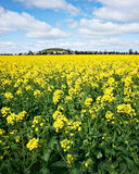 Golden canola flowers Stock Image