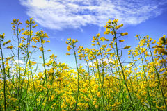 Golden canola and sky Stock Images
