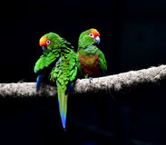 Golden-capped Parakeet Stock Images
