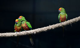 Golden-capped Parakeet Royalty Free Stock Photo
