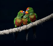 Golden-capped Parakeet Stock Image