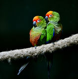 Golden-capped Parakeet Royalty Free Stock Photos