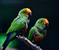 Golden-capped Parakeet Stock Photo