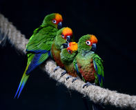 Golden-capped Parakeet Stock Photos