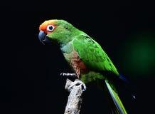 Golden-capped Parakeet Stock Photo
