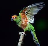 Golden-capped Parakeet Royalty Free Stock Photos