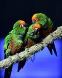 Golden-capped Parakeet Stock Photography