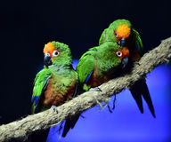 Golden-capped Parakeet Royalty Free Stock Image