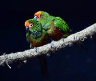 Golden-capped Parakeet Stock Image