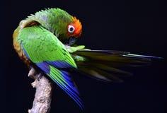 Golden-capped Parakeet Royalty Free Stock Photo