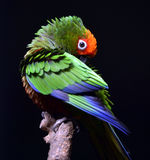 Golden-capped Parakeet Royalty Free Stock Photography