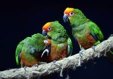 Golden-capped Parakeet Stock Photos
