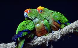 Golden-capped Parakeet Royalty Free Stock Images