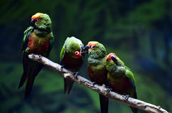 Golden-capped Parakeet Stock Photography