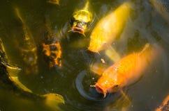 Golden carp fish Royalty Free Stock Photo