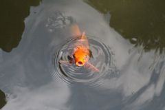 Golden carp in the pond stock images