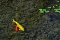 Golden carp and red carp in  the clear stream. Lden carp and red carp are  in  the clear stream, and  some hydrophyte leaves are floating Stock Photos