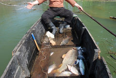 The golden carp of seven kilograms, river networks Royalty Free Stock Images