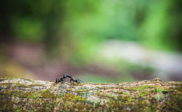 Golden Carpenter Ants. (Camponotus spp) Meet and greet each other on a jungle log Stock Photography