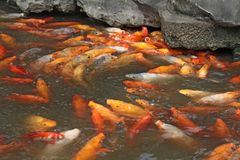 Golden carps chinese. Pisces in the pond. City of Shanghai.  stock photography