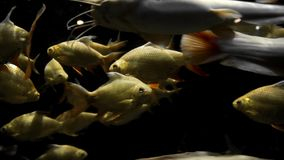Golden carps and white catfishes swimming around in underwater dark, fishes in the nature habitat, fish in the river. Waters, underwater worlds stock video