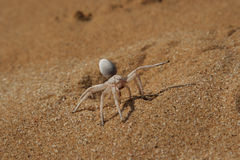 Golden Cartwheeling Spider. (Carparachne aureoflava), also known as Dancing White Lady Spider. When in danger it folds up the legs and rolls down the dunes like stock photos