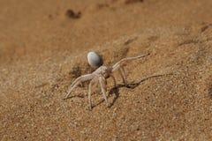 Golden Cartwheeling Spider Stock Photos