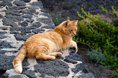 Golden Cat Stock Photo