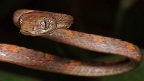 Golden Cat eyes snake. From south of stock image