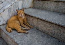 Golden cat Royalty Free Stock Photos