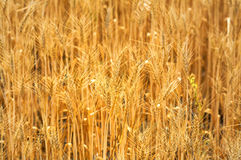 Golden cereal field. In the sunshine royalty free stock photography