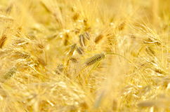 Golden cereal field Stock Image