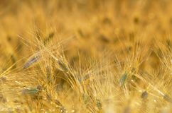 Golden cereal field closeup Royalty Free Stock Photos