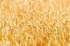 Golden cereal field closeup Stock Images