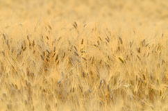 Golden cereal field closeup Royalty Free Stock Photography