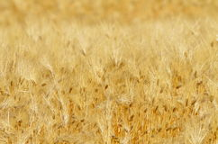 Golden cereal field closeup Royalty Free Stock Images