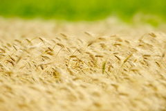 Golden cereal field closeup Stock Image