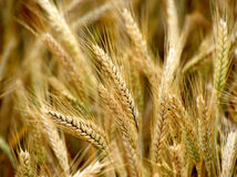 Golden cereal field, wheat. Cereal field detail, before harvesting the seeds royalty free stock image