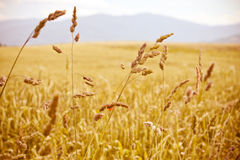 Golden cereal straws agriculture field Royalty Free Stock Photo