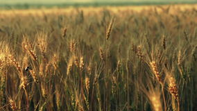The golden cereals field stock footage