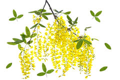 Golden chain blossom Stock Image