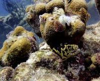 Golden chain eel Stock Photos